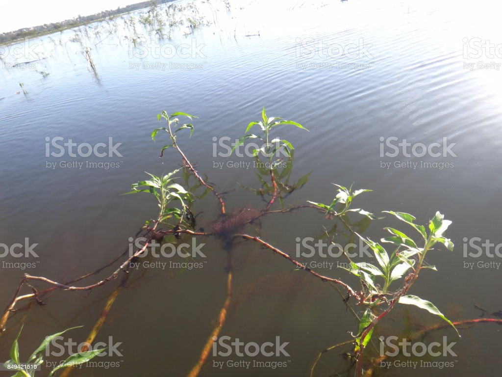 Aquatic plant stock photo