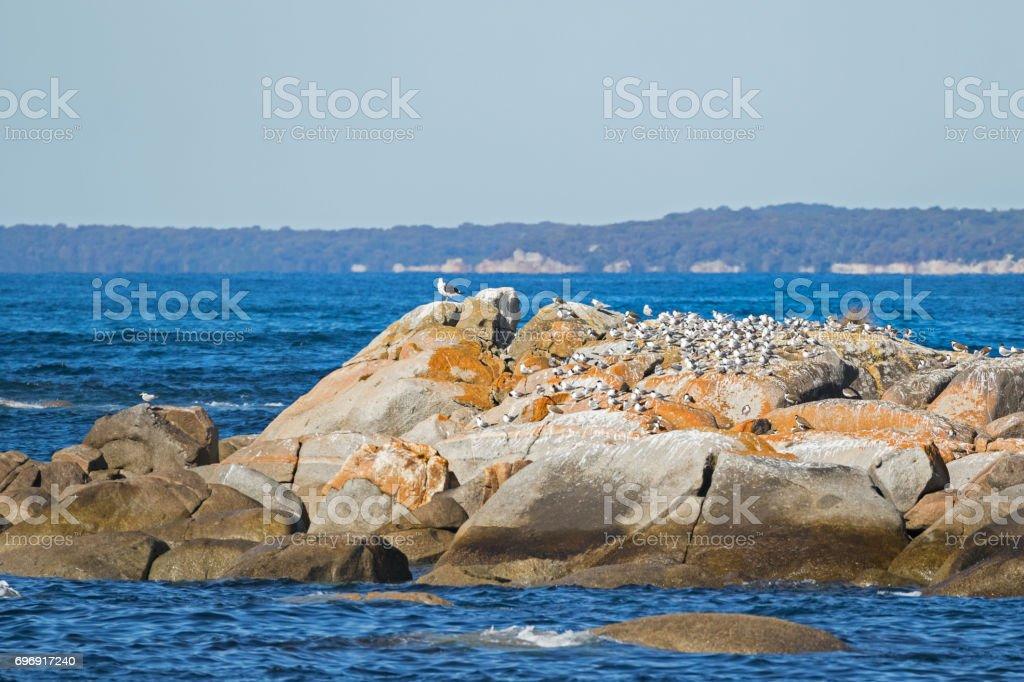 Aquatic sea birds - Terns, Gulls, Pacific Gull, Lapwings on island at Bay of Fires in Tasmania, Australia stock photo