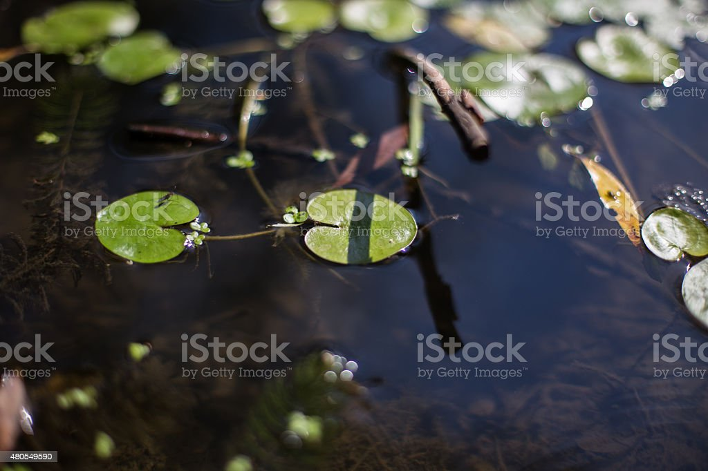 Aquatic Vegetation stock photo