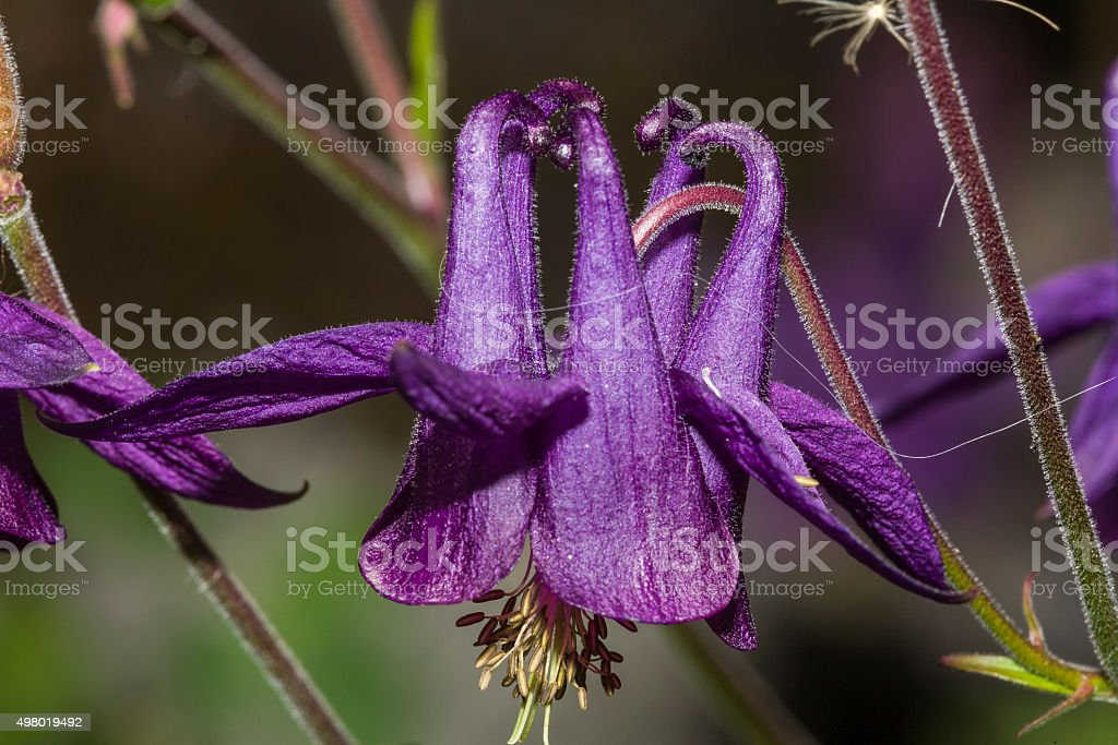 Aquilegia atrata (family: Ranunculaceae). Italy, Western Alps (Aosta Valley) stock photo