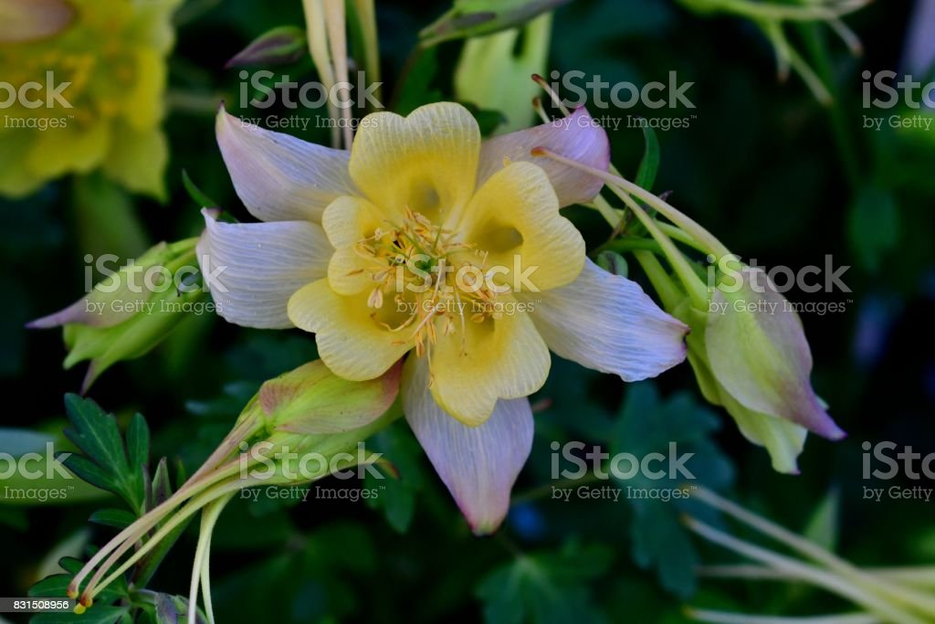 Aquilegia / Columbine Flower stock photo