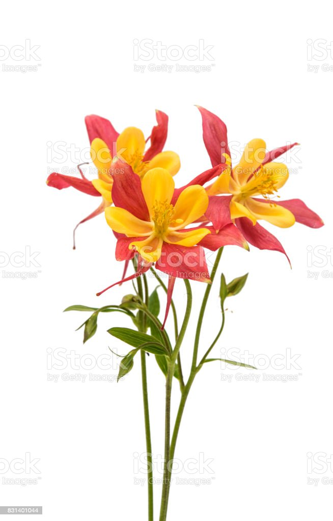 aquilegia flower isolated stock photo