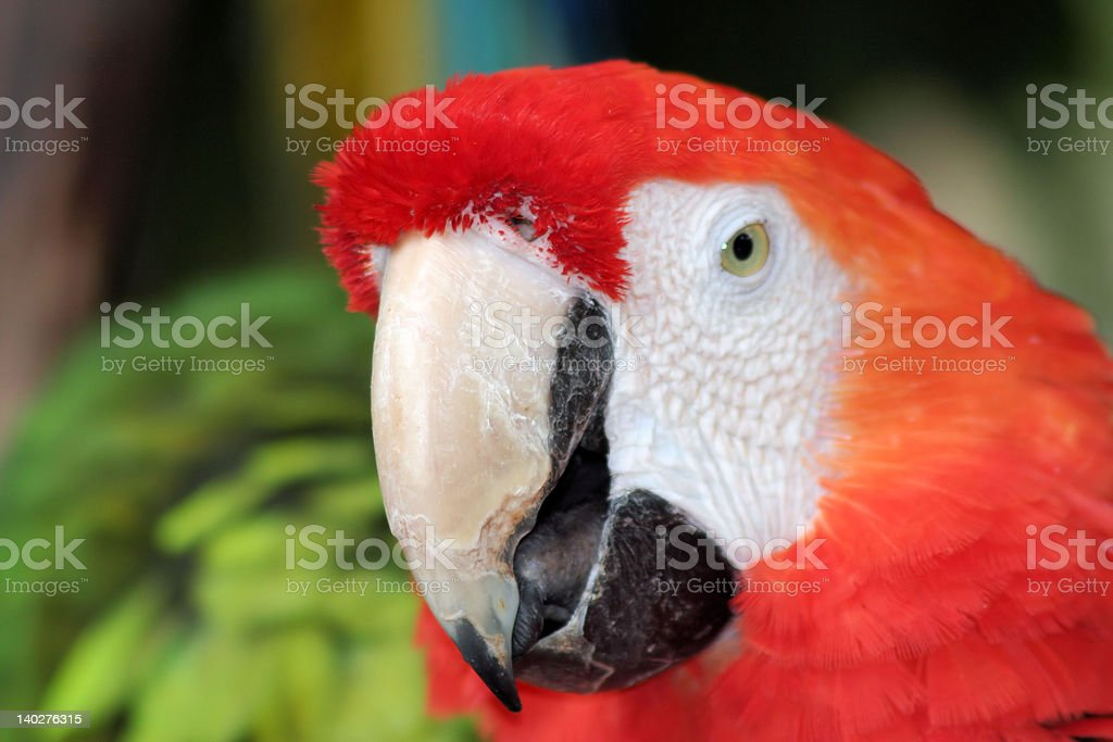 'Ara', The first plane of Altar Chloroptera, Red Macaw royalty-free stock photo