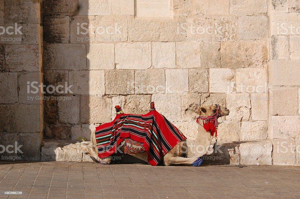 Arab Camel on the Western Wall of Jerusalem stock photo
