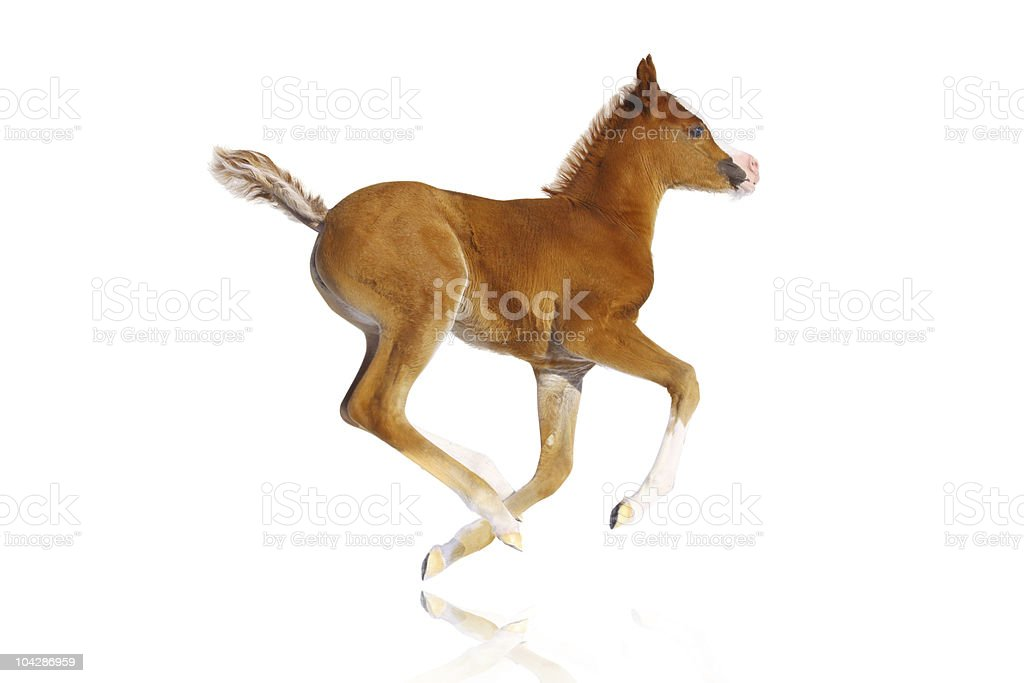 arab filly isolated stock photo