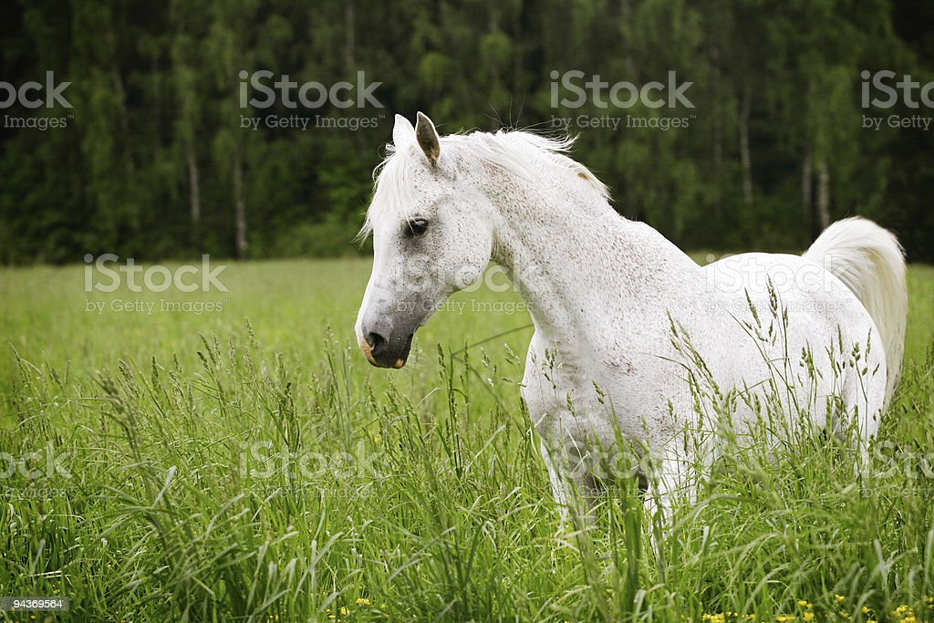 arab horse in field stock photo