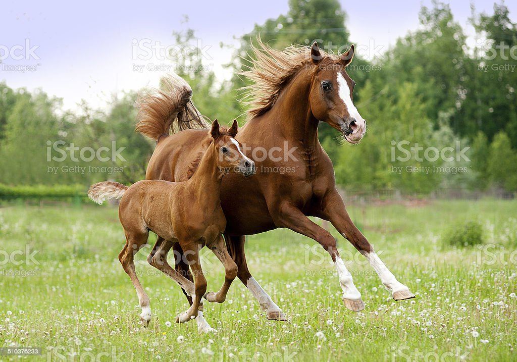 arab mare and foal stock photo