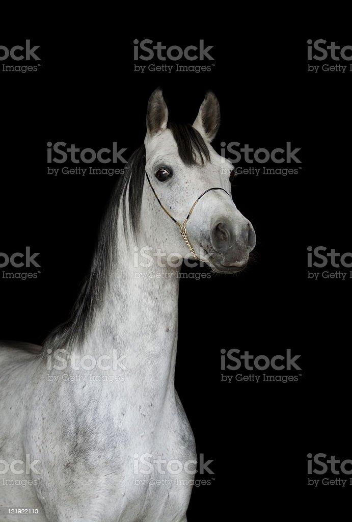 arab stallion on black stock photo