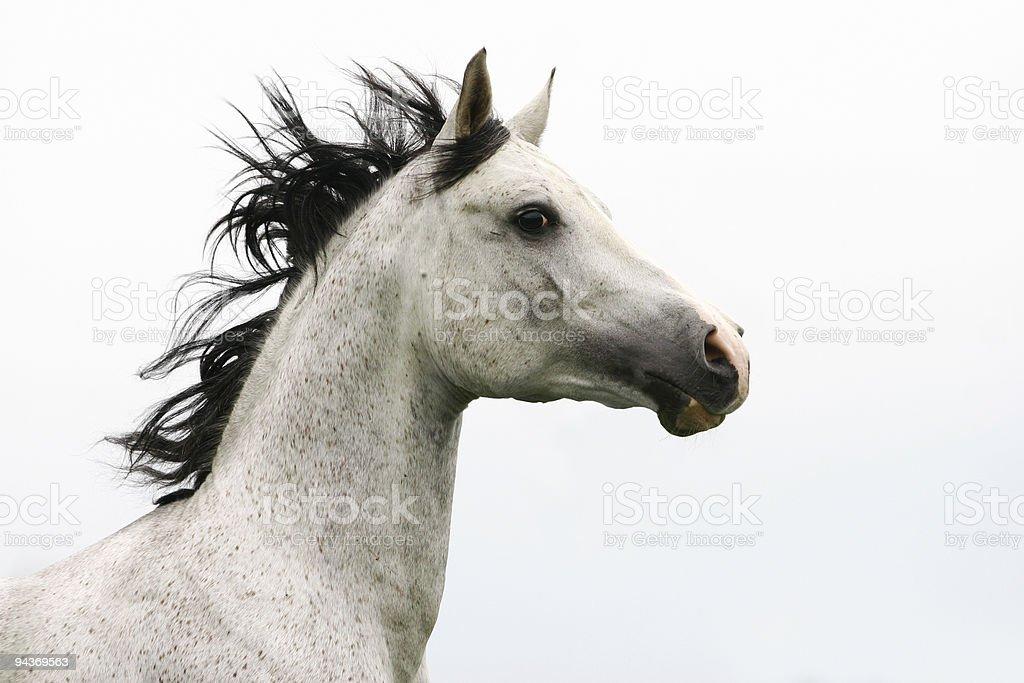 arab stallion stock photo