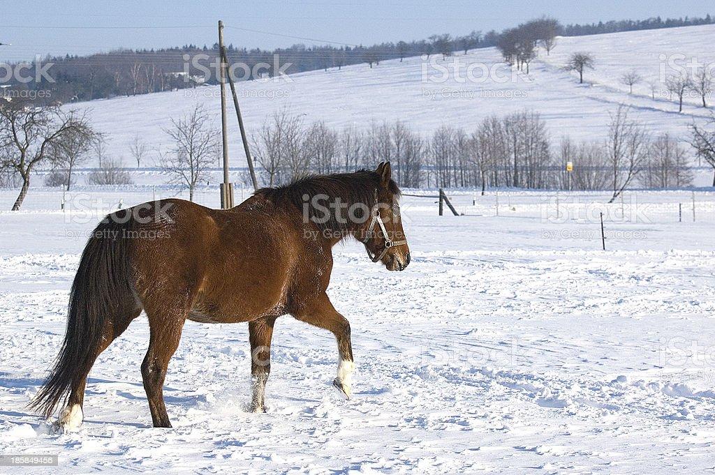 Araberpferd stock photo