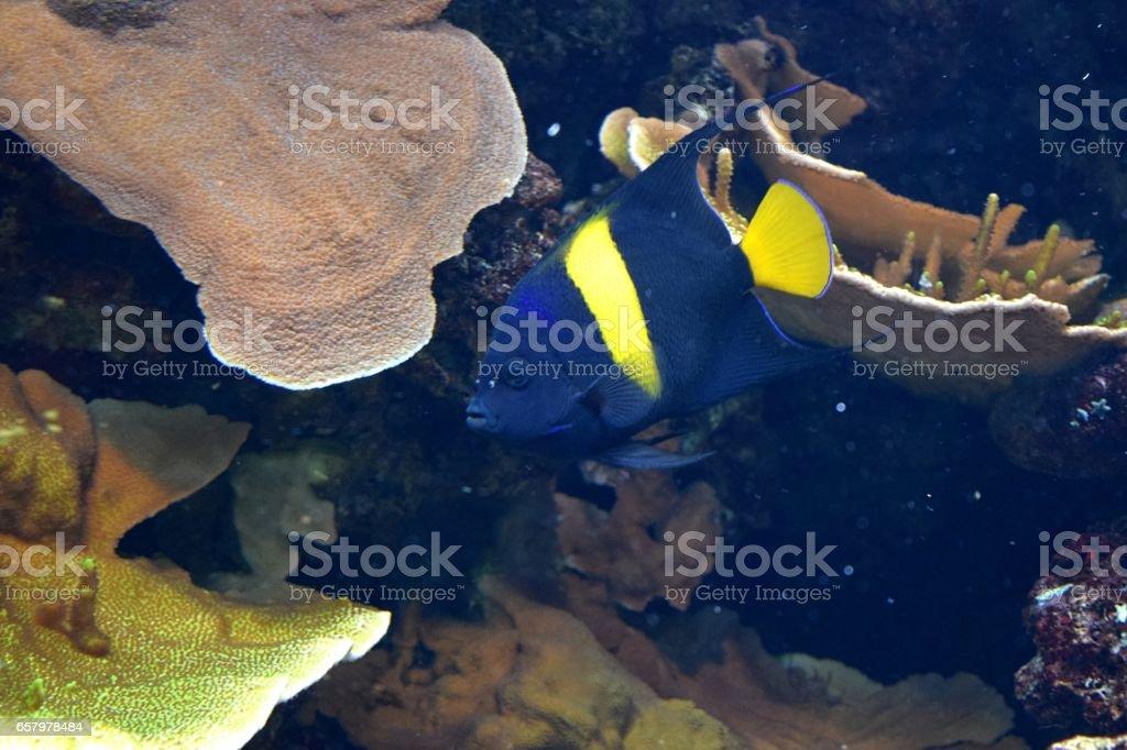 arabian anglefish tropical fish cute in fish tank stock photo