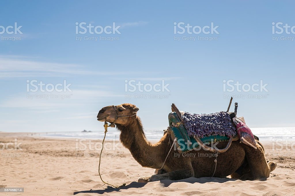 Arabian camel beach stock photo