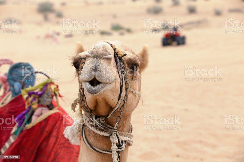 Arabian camel in the desert stock photo