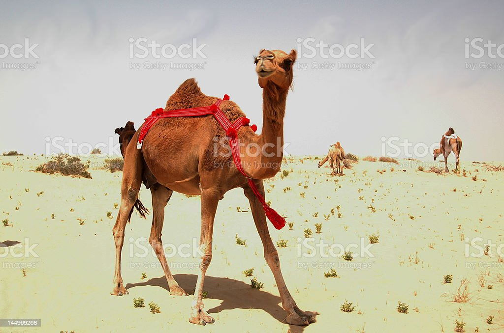 Arabian Camel (Camelus dromadarius) stock photo