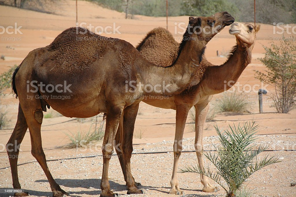 Arabian Camel (Camelus dromedarius) stock photo