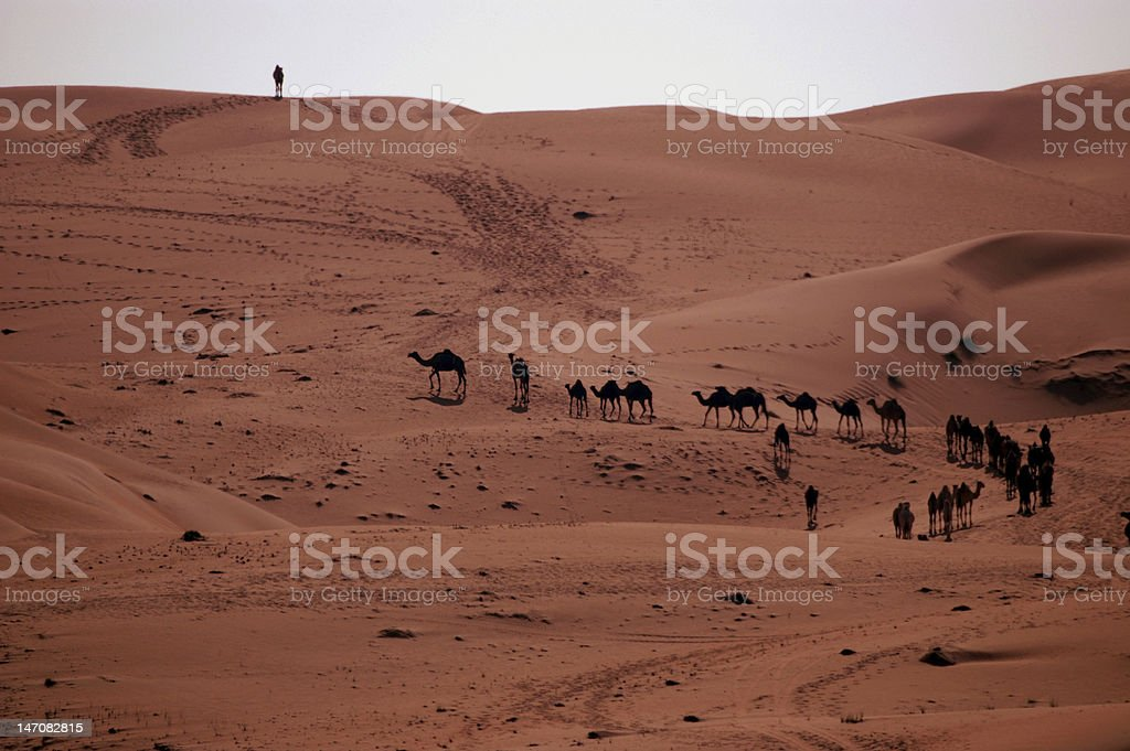 Arabian Camel (Camelus drobedarius) stock photo