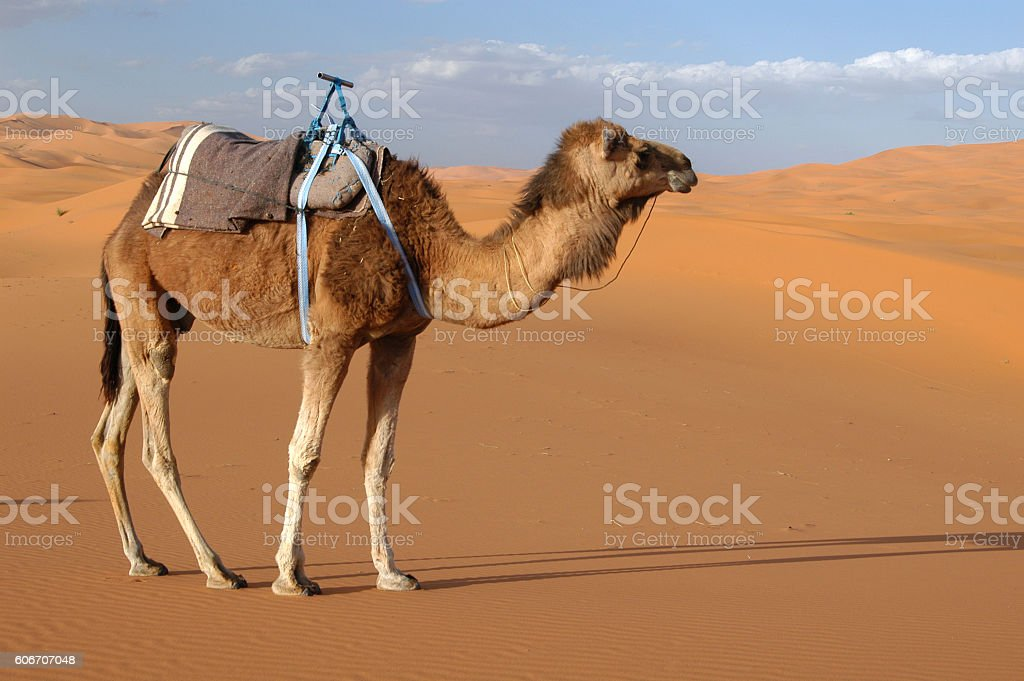 Arabian camel stock photo
