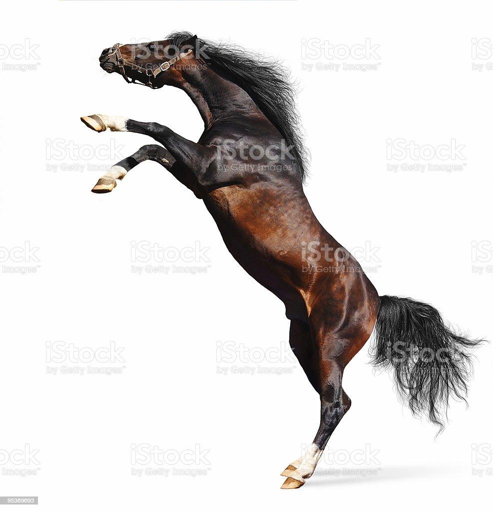 arabian chestnut stallion stock photo