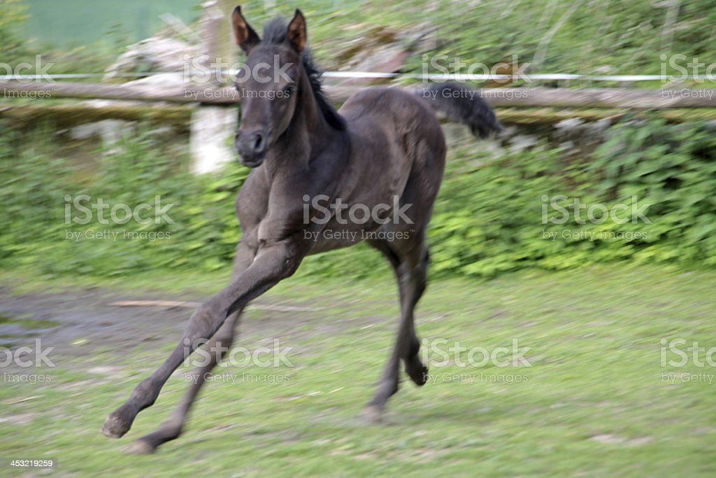Arabian Foal stock photo