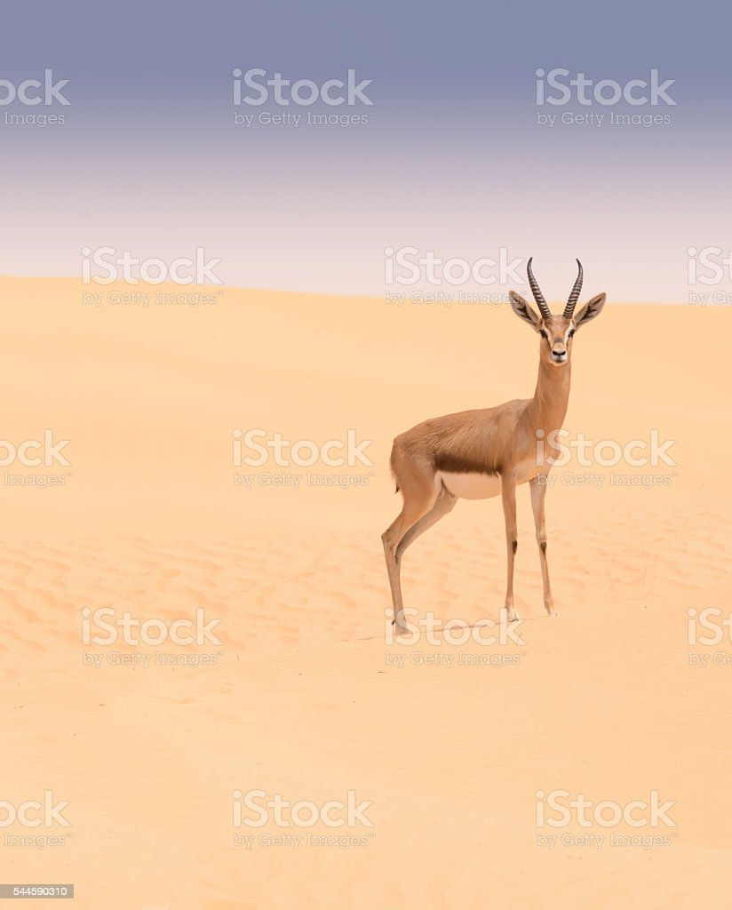 Arabian gazelle, Dubai Desert Conservation Reserve, UAE stock photo
