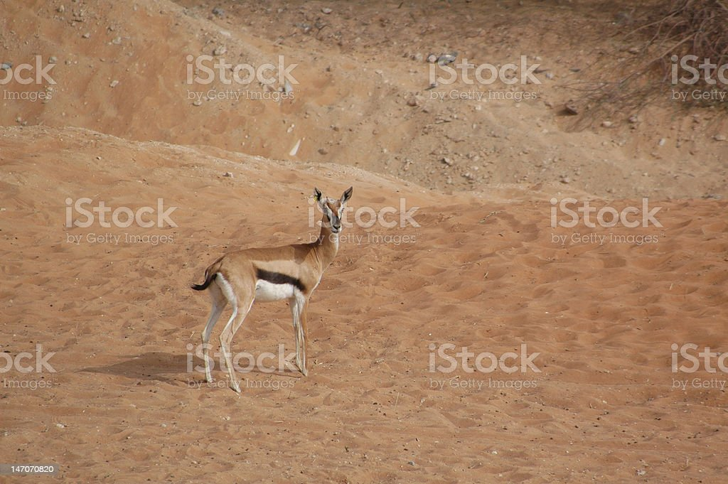 Arabian Gazelle (Gazella arabica) stock photo