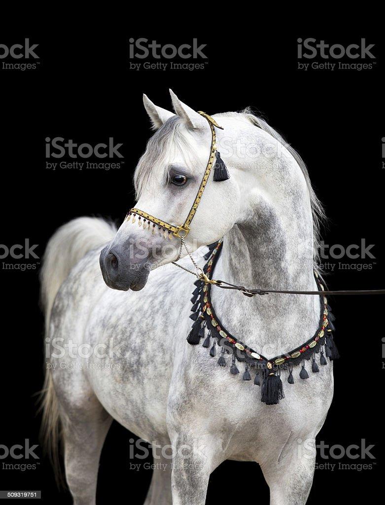 Arabian gray horse on black background stock photo