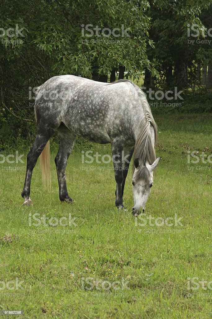 Arabian Grey Mare royalty-free stock photo
