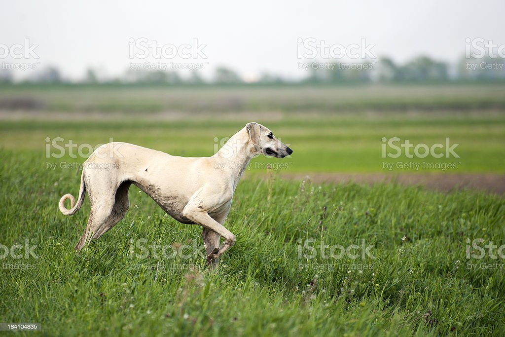 Arabian Greyhound (Sloughi) stock photo