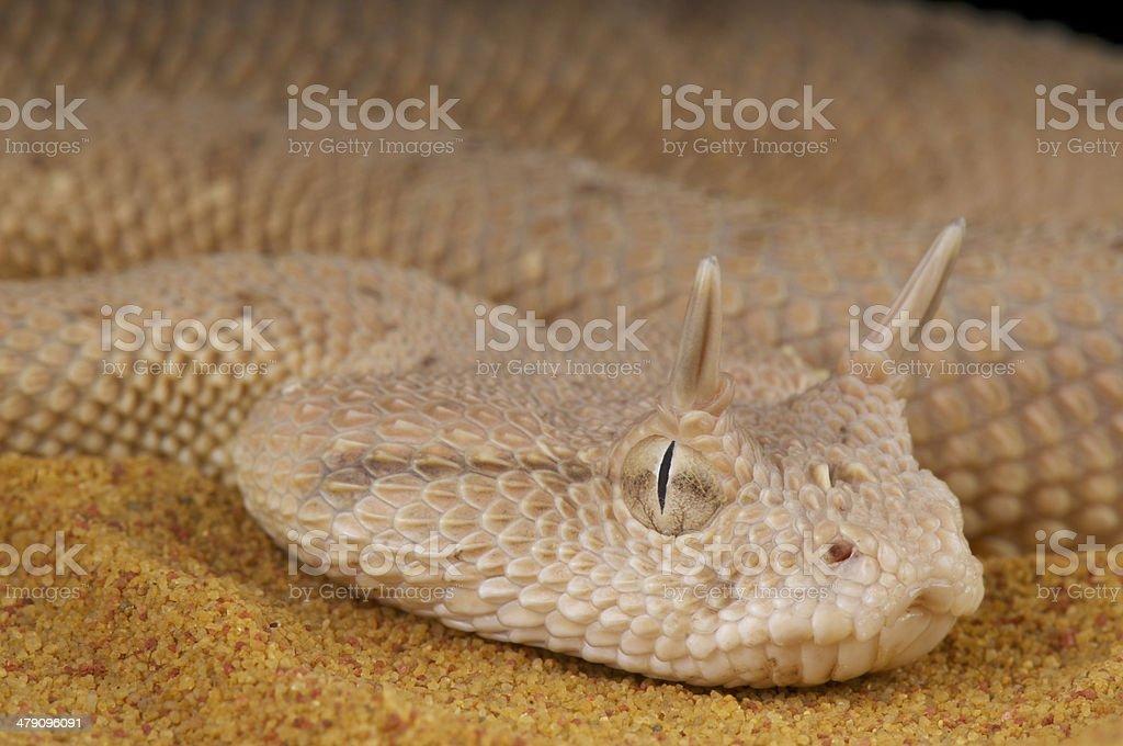 Arabian horned viper / Cerastes gasperettii stock photo