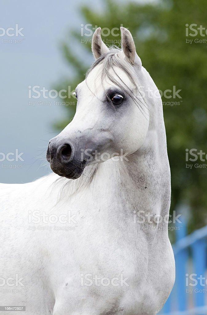 Arabian horse head stock photo