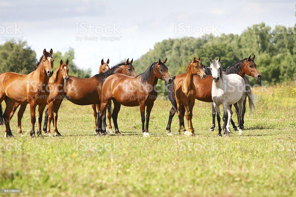 arabian horse herd stock photo
