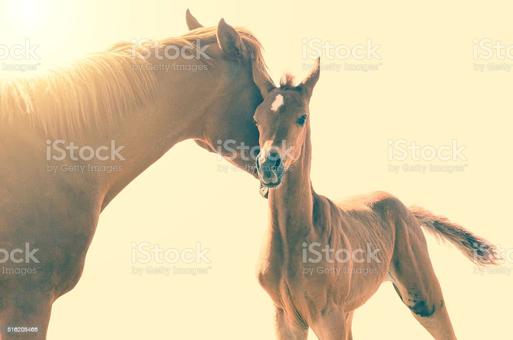Arabian horse love foal and mother cuddling stock photo