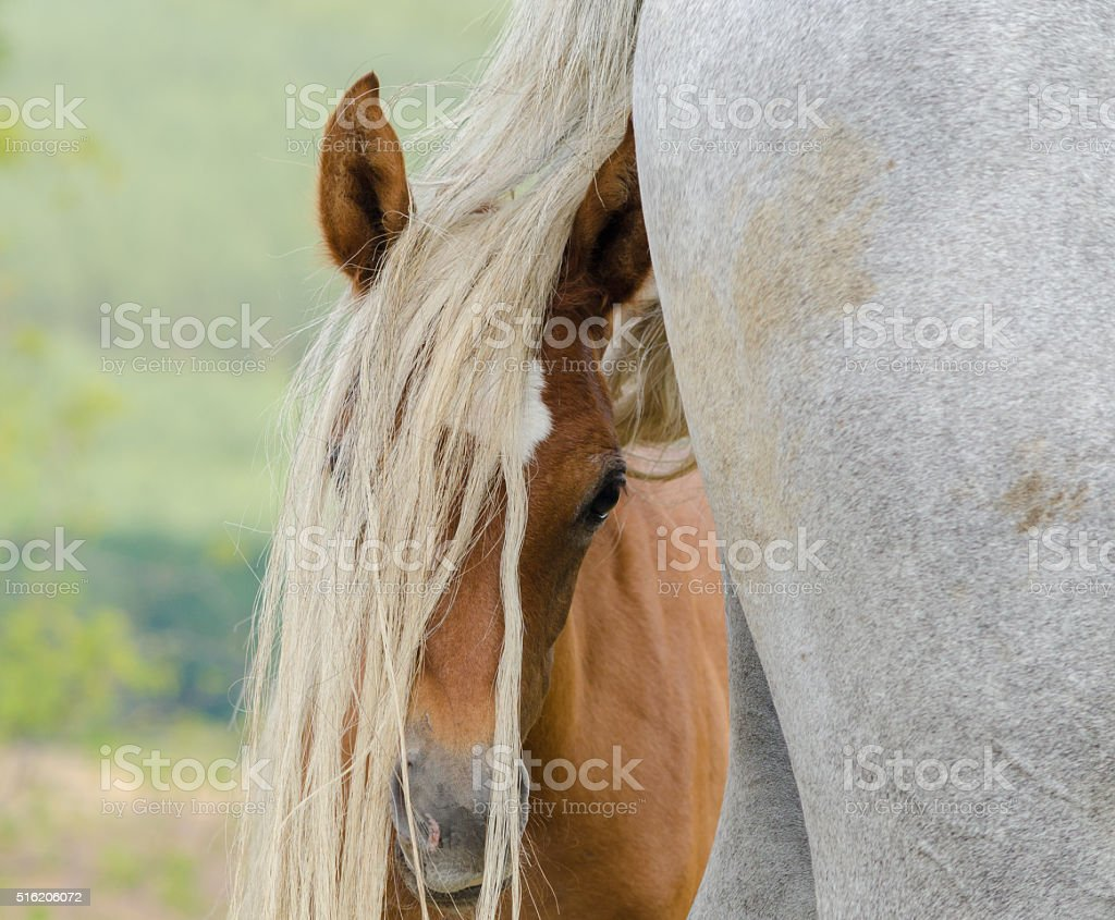 Arabian horse love - foal and mother on meadow stock photo