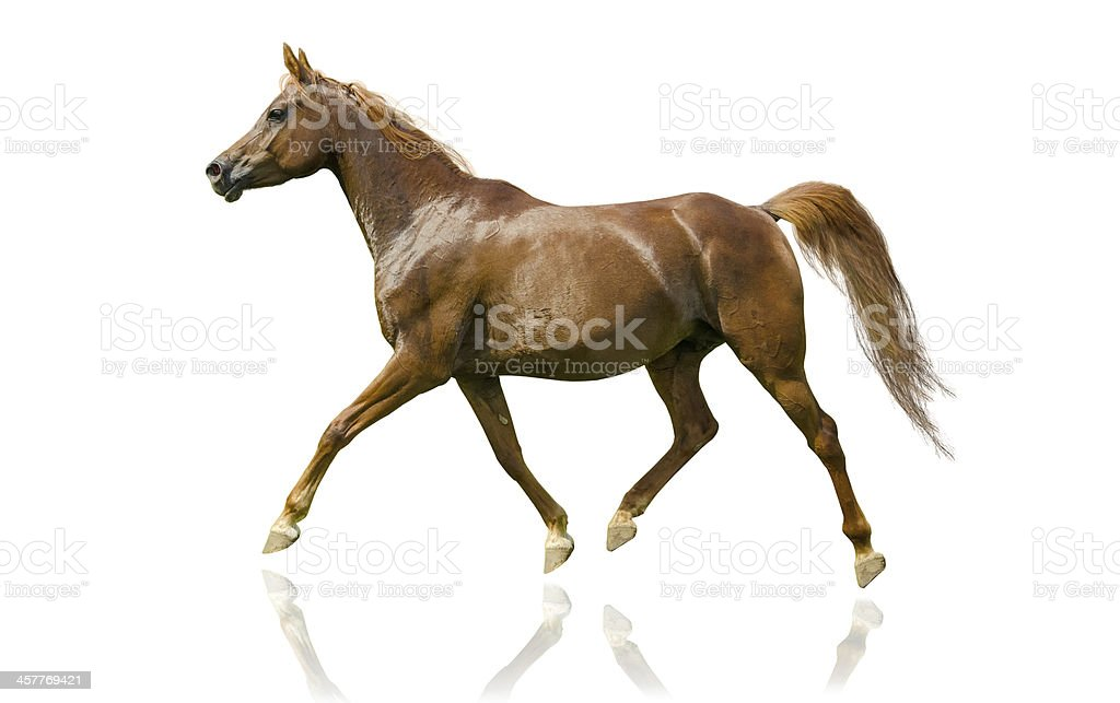 Arabian horse mare - isolated on white stock photo