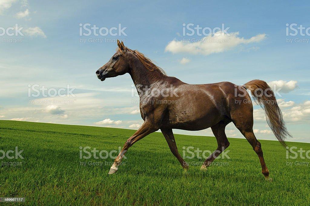 Arabian horse mare on meadow stock photo