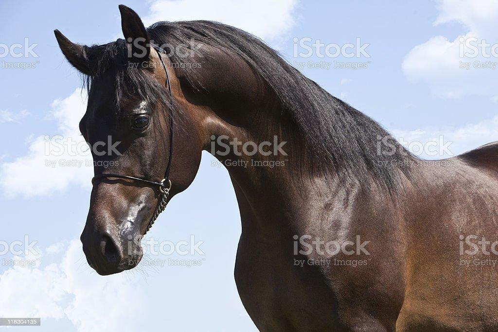 Arabian horse royalty-free stock photo
