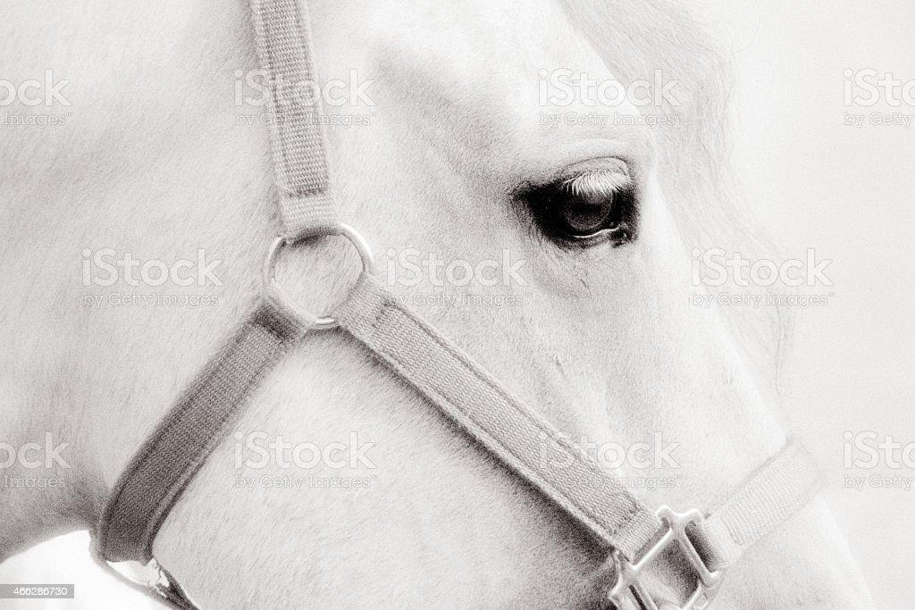 Arabian Horse stock photo