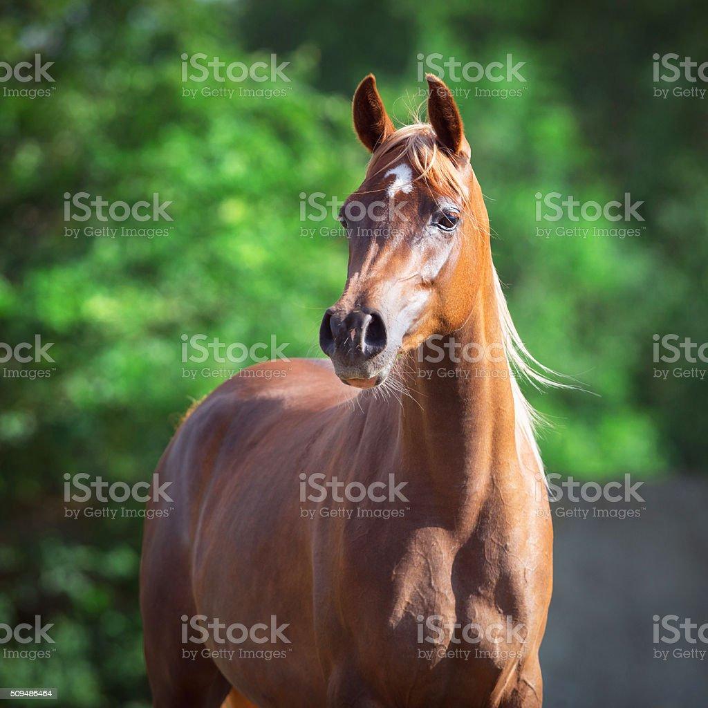 Arabian horse portrait on green background, square photo stock photo
