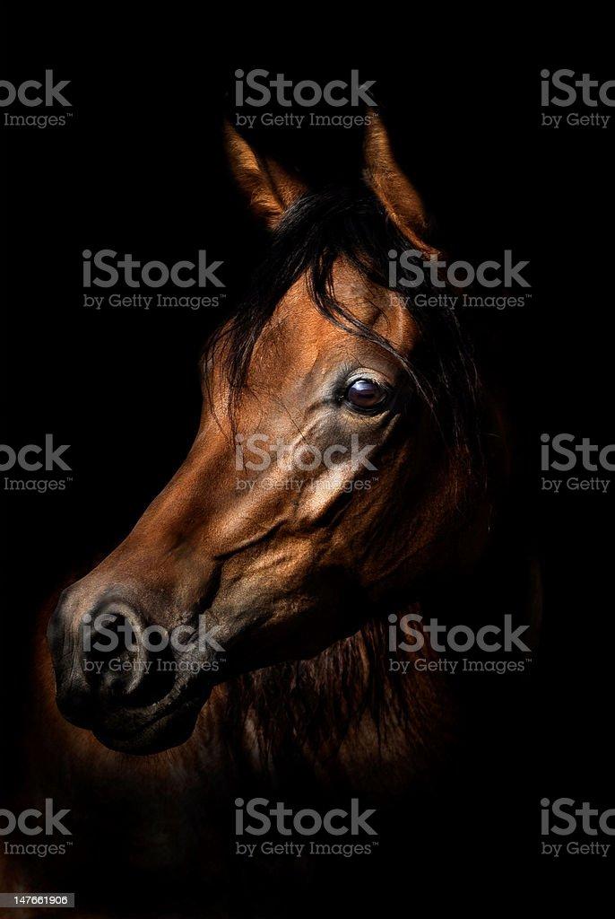 Arabian Horse Portrait stock photo
