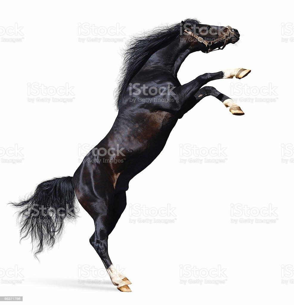 arabian horse rears stock photo