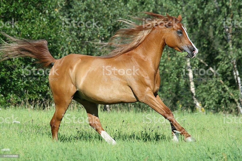 Arabian horse running royalty-free stock photo