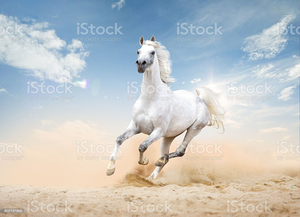 Arabian horse runs free in desert stock photo