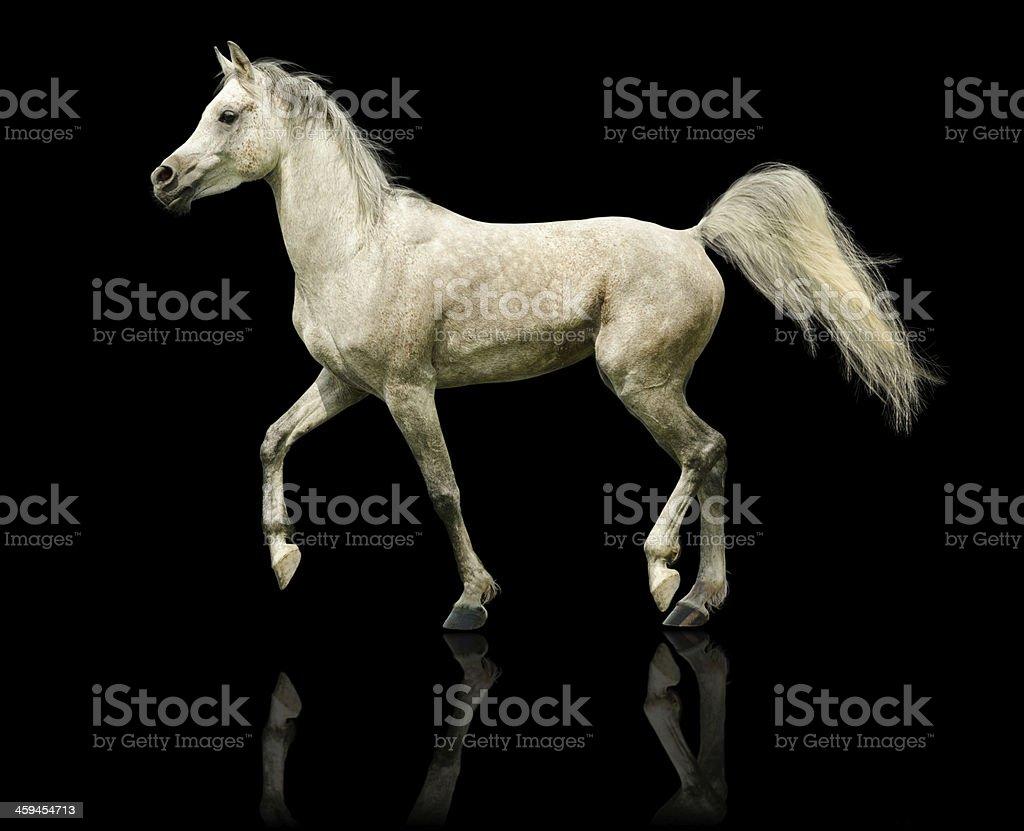 Arabian horse stallion - isolated on black stock photo