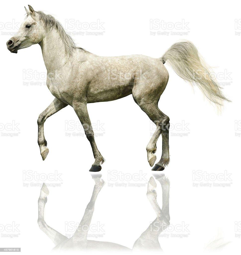 Arabian horse stallion - isolated on white stock photo