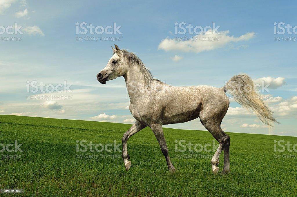 Arabian horse stallion on meadow stock photo