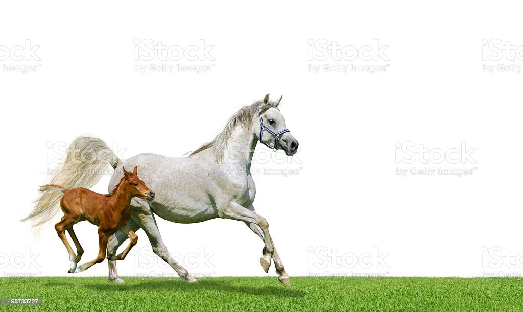 Arabian horses mare and foal in gallop isolated on white stock photo