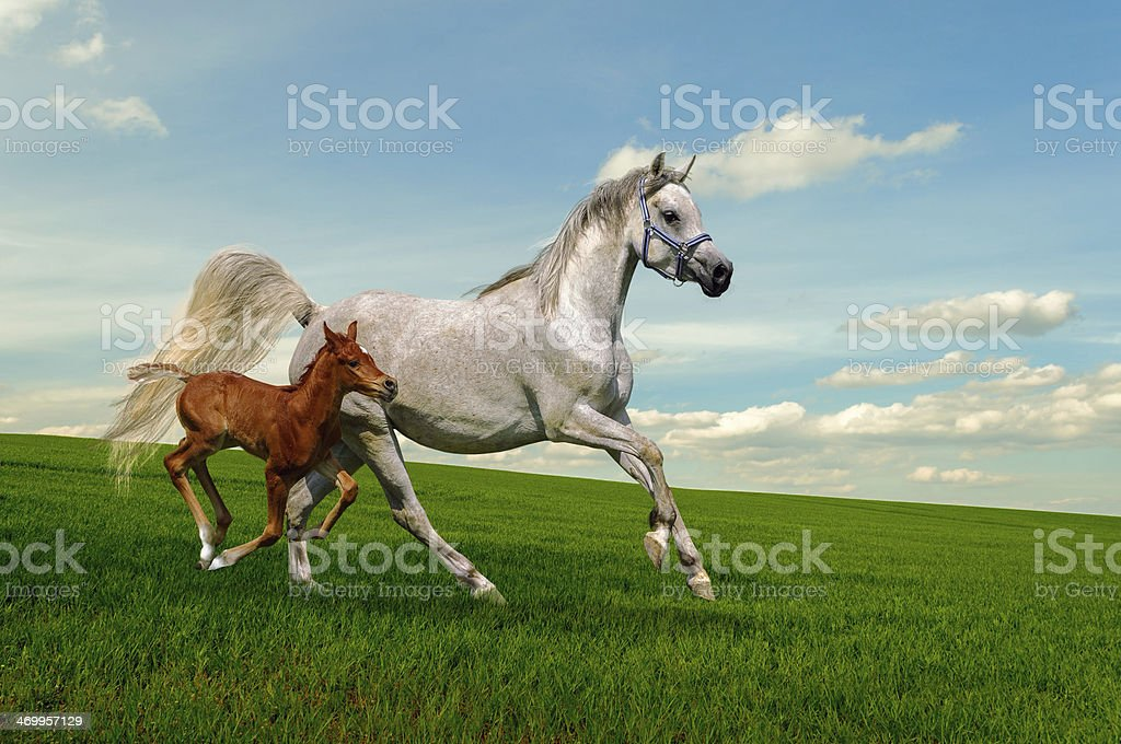 Arabian horses mare and foal in gallop stock photo