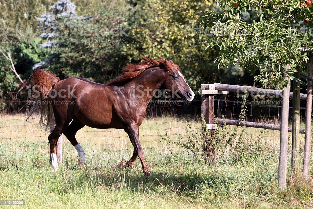 Arabian horses on a pasture stock photo