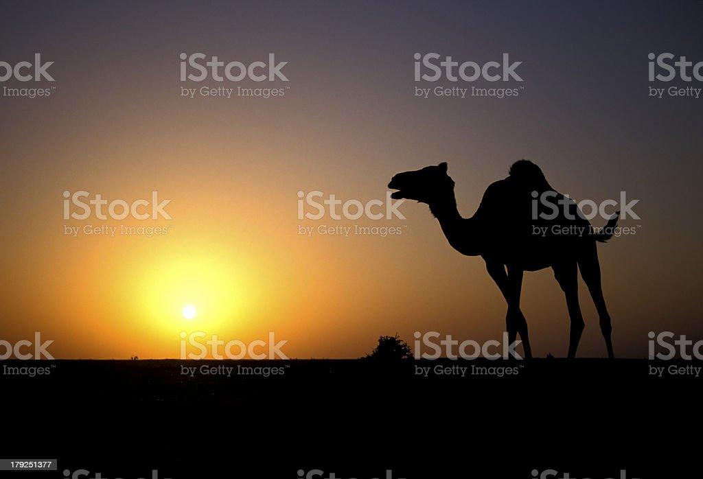Arabian or Dromedary camel, Camelus dromedarius royalty-free stock photo
