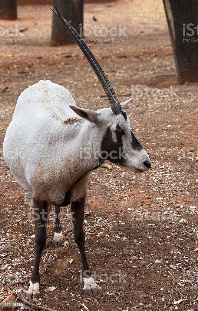 Arabian or White Oryx stock photo